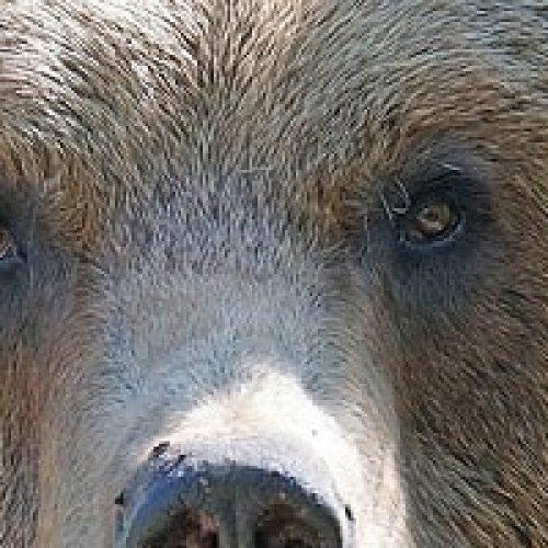Er det farlig å møte bjørn?